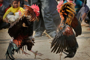 cock fights